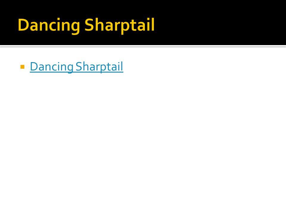  Dancing Sharptail Dancing Sharptail