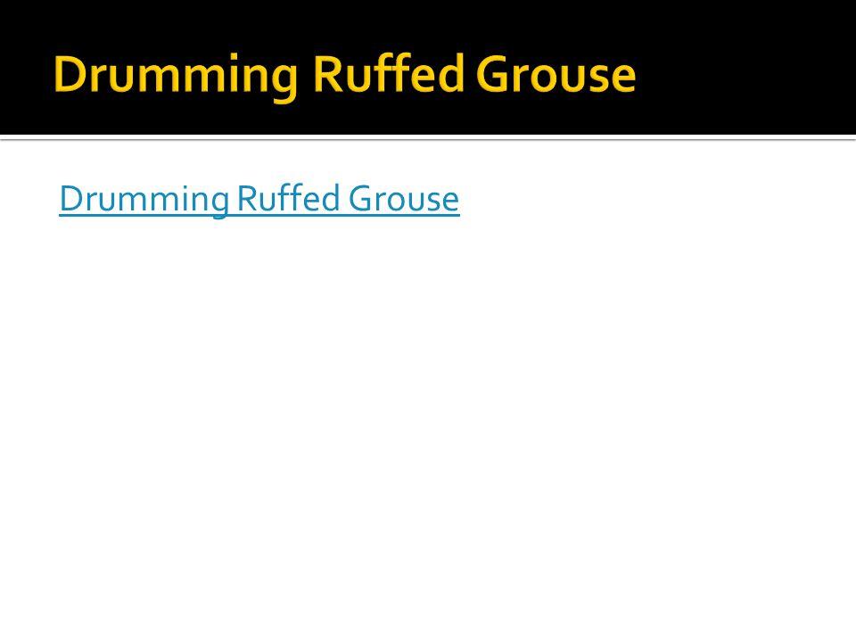 Drumming Ruffed Grouse