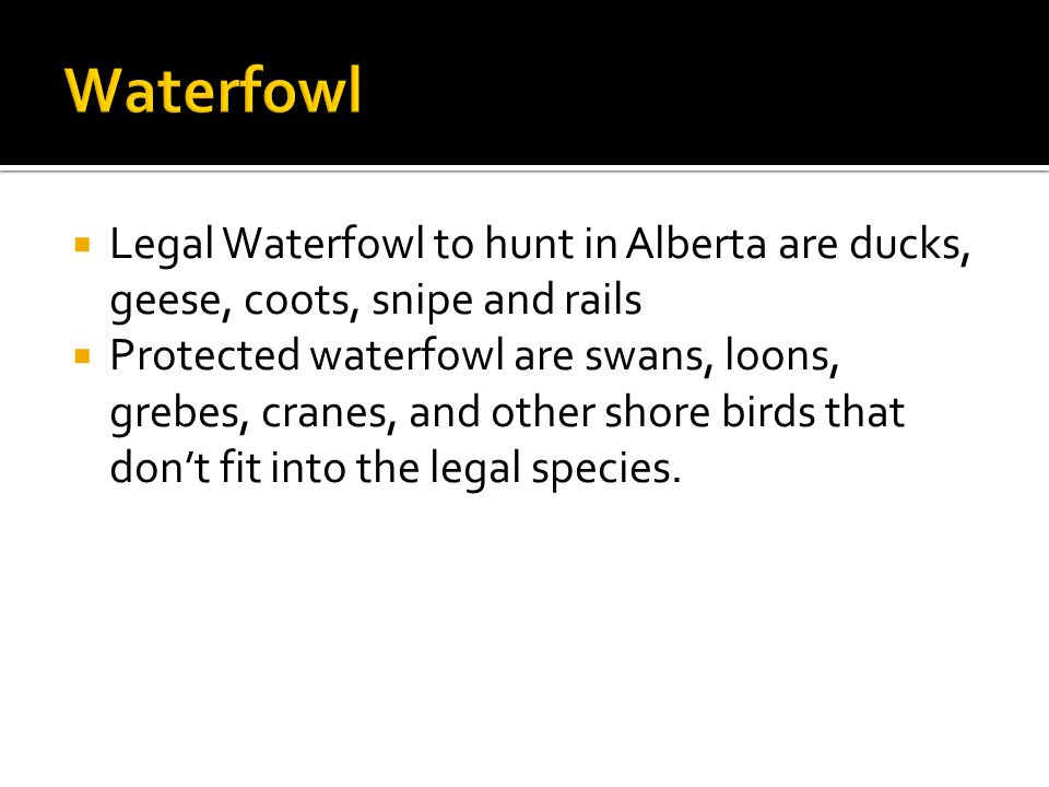  Legal Waterfowl to hunt in Alberta are ducks, geese, coots, snipe and rails  Protected waterfowl are swans, loons, grebes, cranes, and other shore birds that don't fit into the legal species.