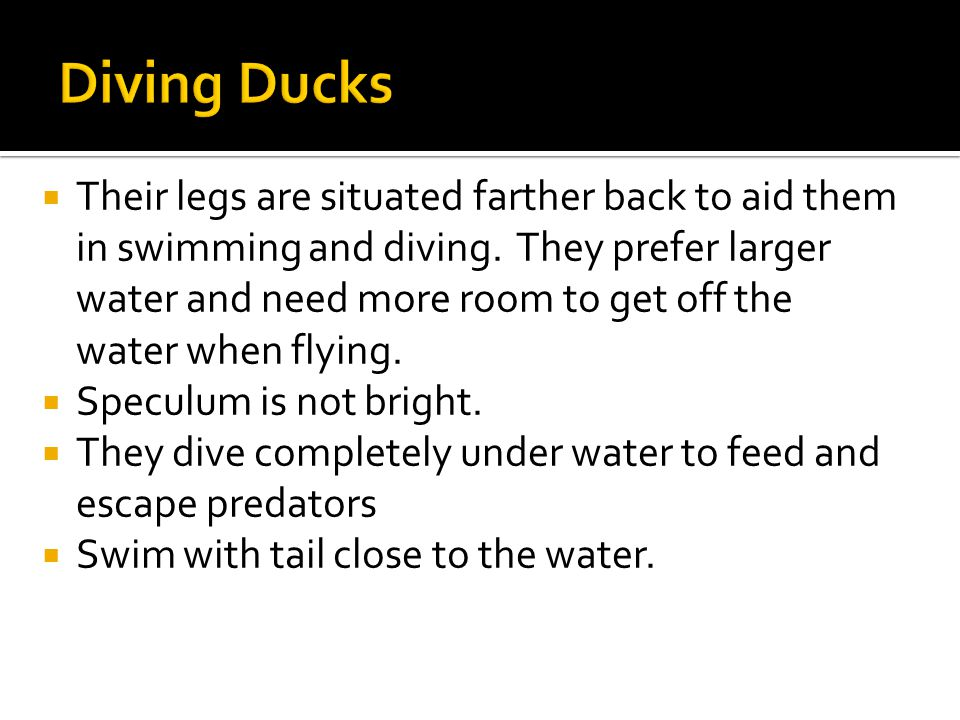 Their legs are situated farther back to aid them in swimming and diving.