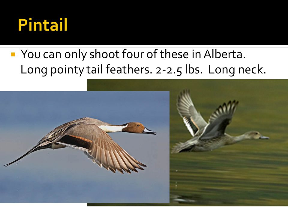  You can only shoot four of these in Alberta. Long pointy tail feathers. 2-2.5 lbs. Long neck.