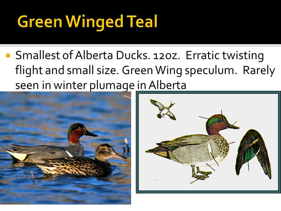  Smallest of Alberta Ducks. 12oz. Erratic twisting flight and small size.