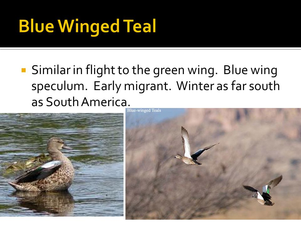  Similar in flight to the green wing. Blue wing speculum.