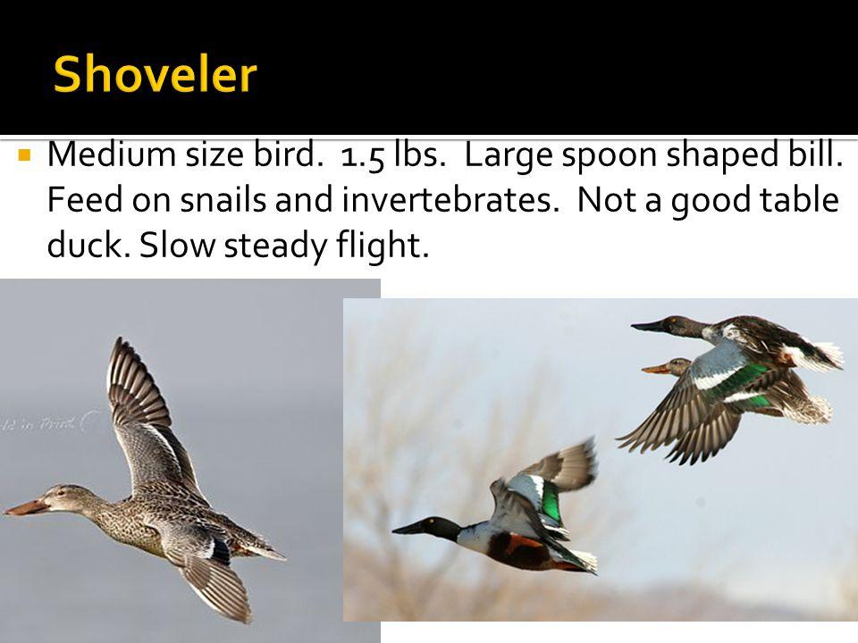  Medium size bird. 1.5 lbs. Large spoon shaped bill.