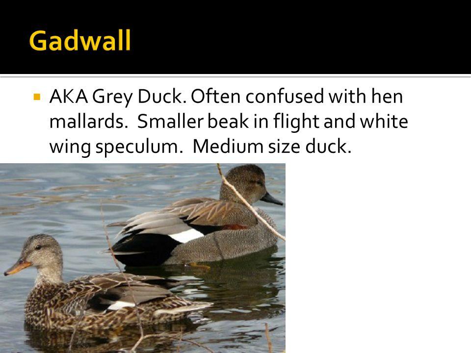  AKA Grey Duck. Often confused with hen mallards.