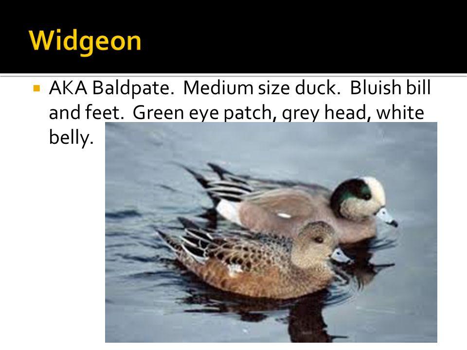  AKA Baldpate. Medium size duck. Bluish bill and feet. Green eye patch, grey head, white belly.