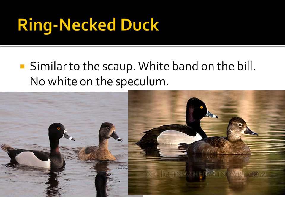  Similar to the scaup. White band on the bill. No white on the speculum.