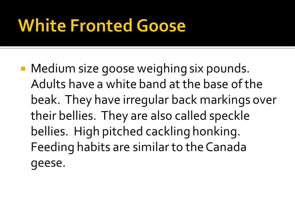  Medium size goose weighing six pounds. Adults have a white band at the base of the beak.