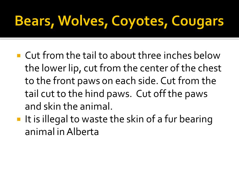  Cut from the tail to about three inches below the lower lip, cut from the center of the chest to the front paws on each side.