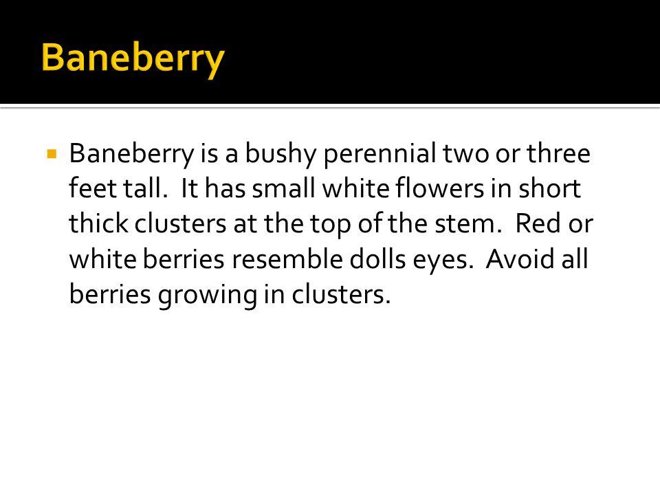  Baneberry is a bushy perennial two or three feet tall.