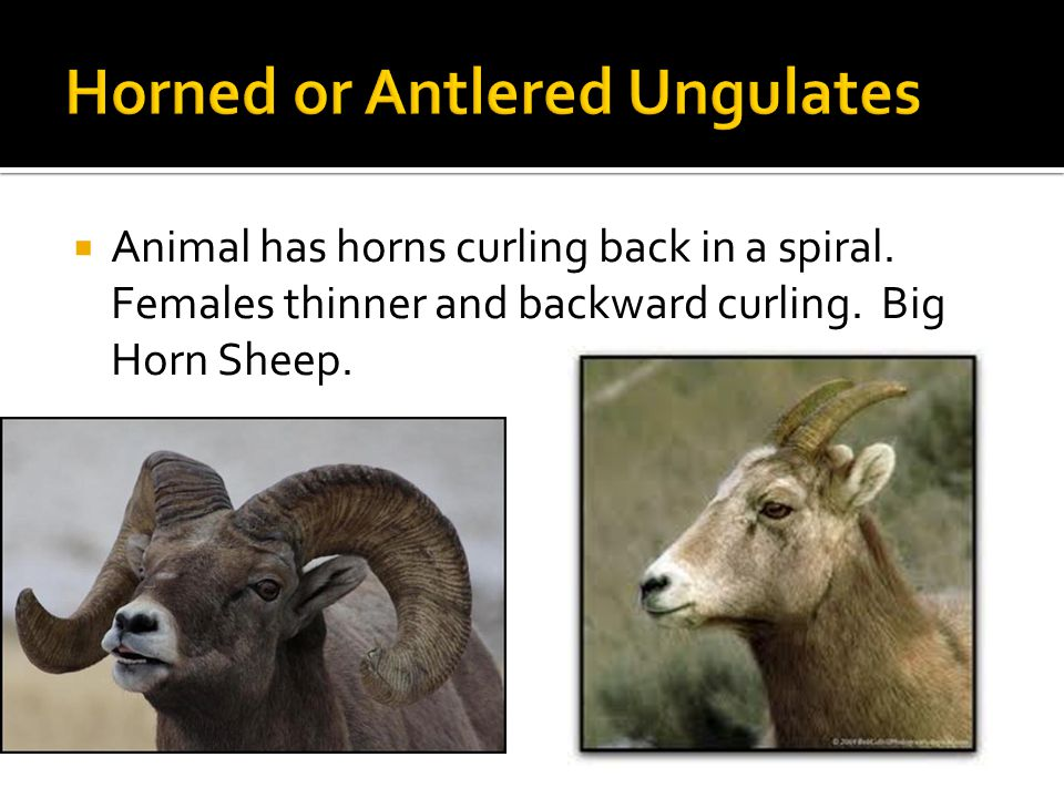  Animal has horns curling back in a spiral. Females thinner and backward curling. Big Horn Sheep.