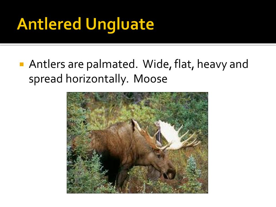  Antlers are palmated. Wide, flat, heavy and spread horizontally. Moose