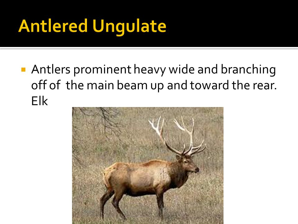  Antlers prominent heavy wide and branching off of the main beam up and toward the rear. Elk