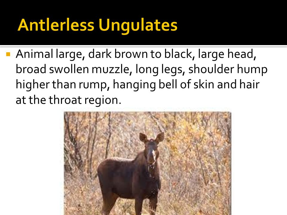  Animal large, dark brown to black, large head, broad swollen muzzle, long legs, shoulder hump higher than rump, hanging bell of skin and hair at the throat region.