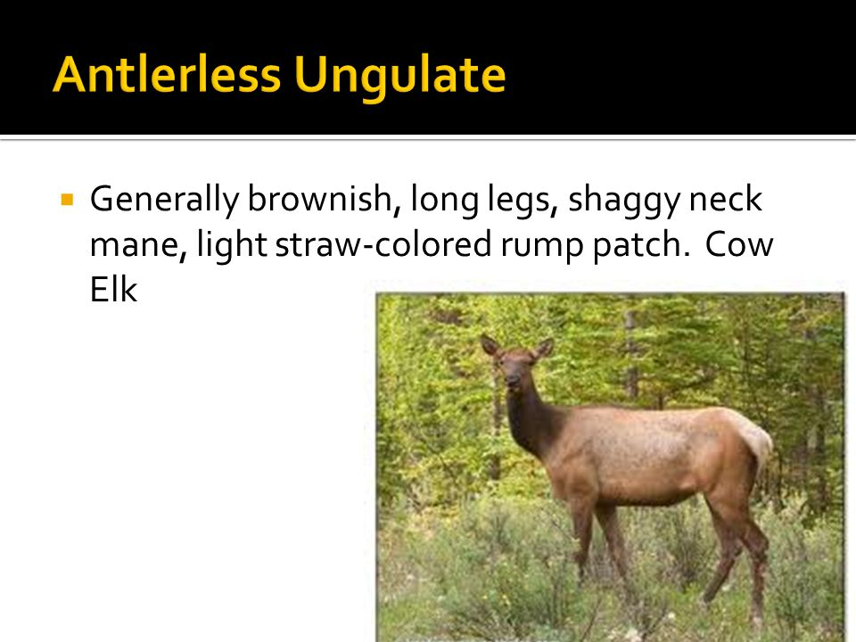  Generally brownish, long legs, shaggy neck mane, light straw-colored rump patch. Cow Elk