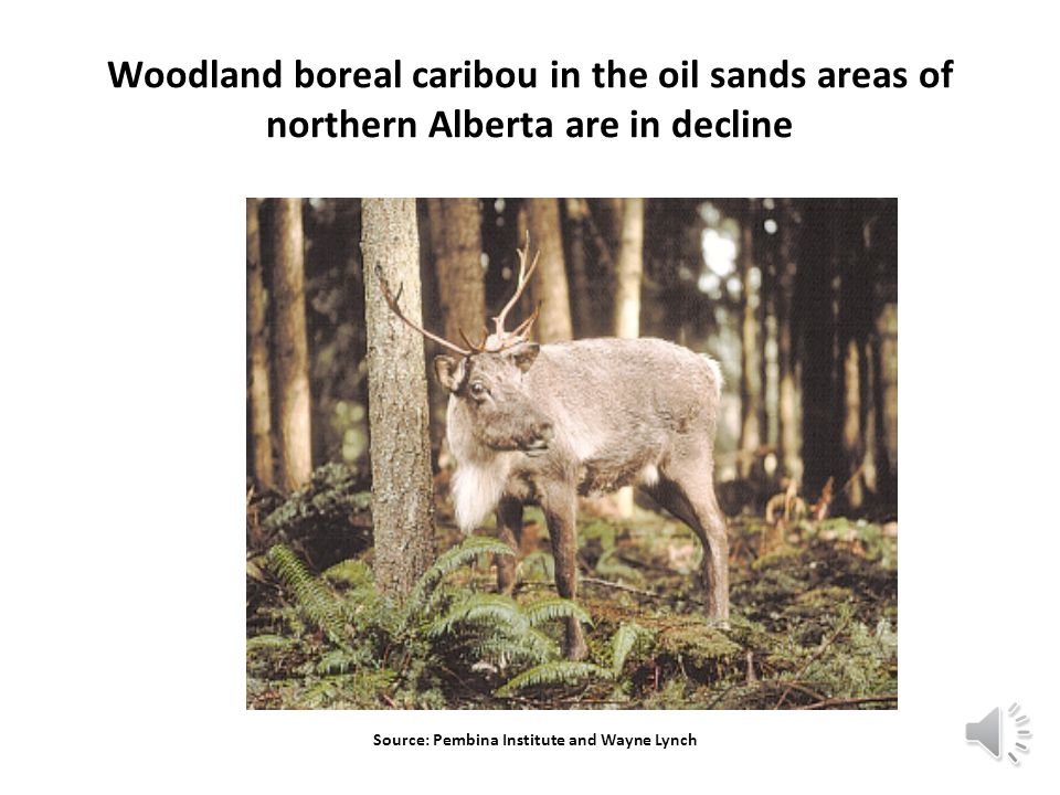 Source: Pembina Institute and Wayne Lynch Woodland boreal caribou in the oil sands areas of northern Alberta are in decline