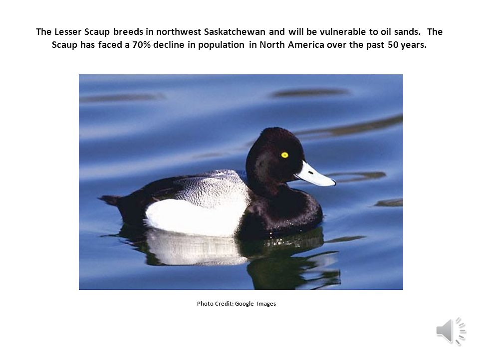 The Lesser Scaup breeds in northwest Saskatchewan and will be vulnerable to oil sands.