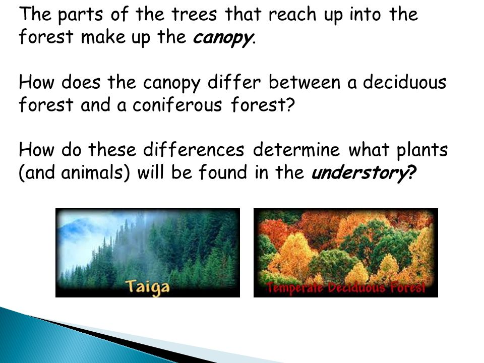 The parts of the trees that reach up into the forest make up the canopy. How does the canopy differ between a deciduous forest and a coniferous forest