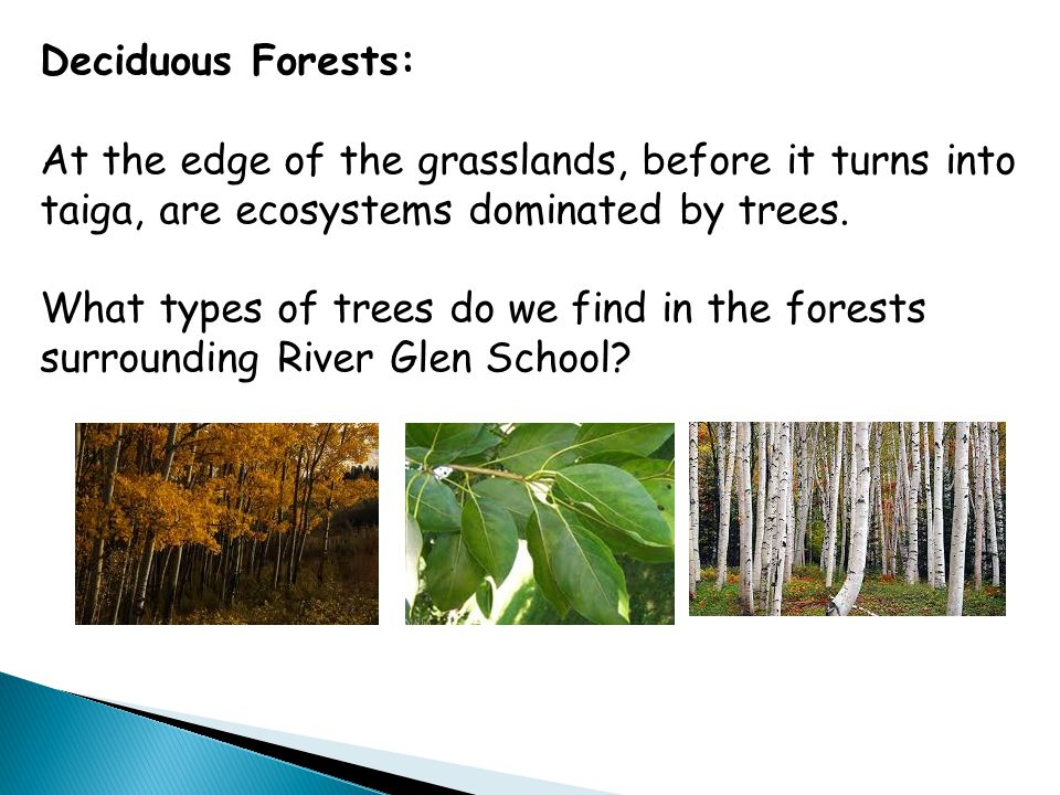 Deciduous Forests: At the edge of the grasslands, before it turns into taiga, are ecosystems dominated by trees. What types of trees do we find in the