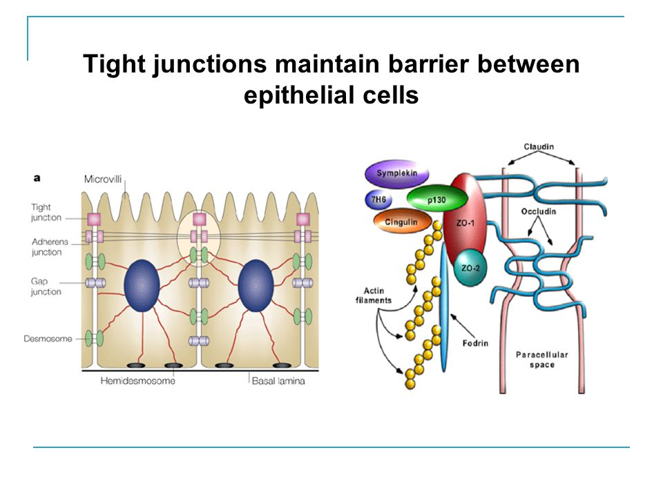 Tight junctions maintain barrier between epithelial cells