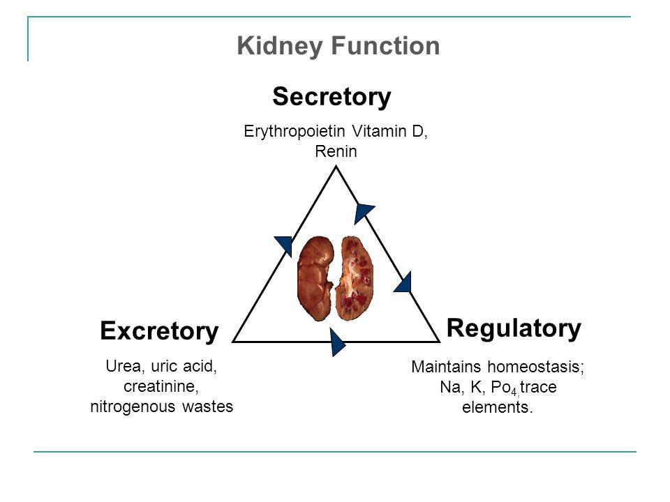 Secretory Erythropoietin Vitamin D, Renin Excretory Urea, uric acid, creatinine, nitrogenous wastes Regulatory Maintains homeostasis; Na, K, Po 4, tra