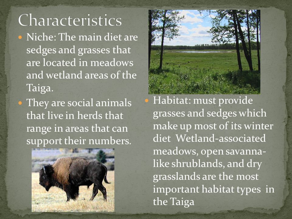 Niche: The main diet are sedges and grasses that are located in meadows and wetland areas of the Taiga.