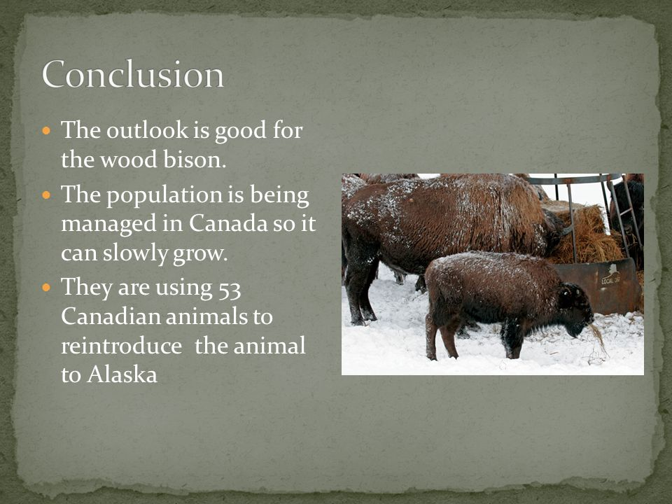 The outlook is good for the wood bison.
