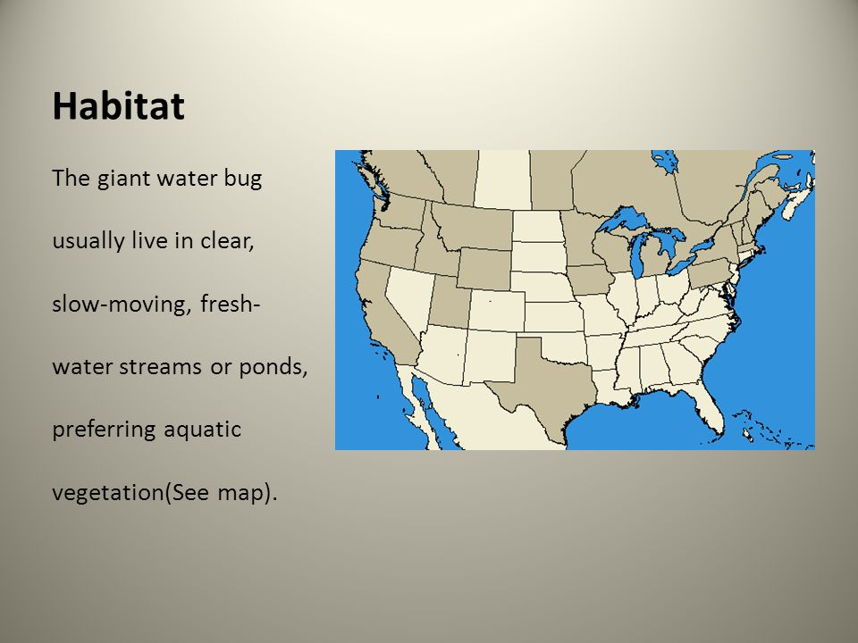 Description The giant water bug is referred to as one of the biggest insects in both the U.S.A.
