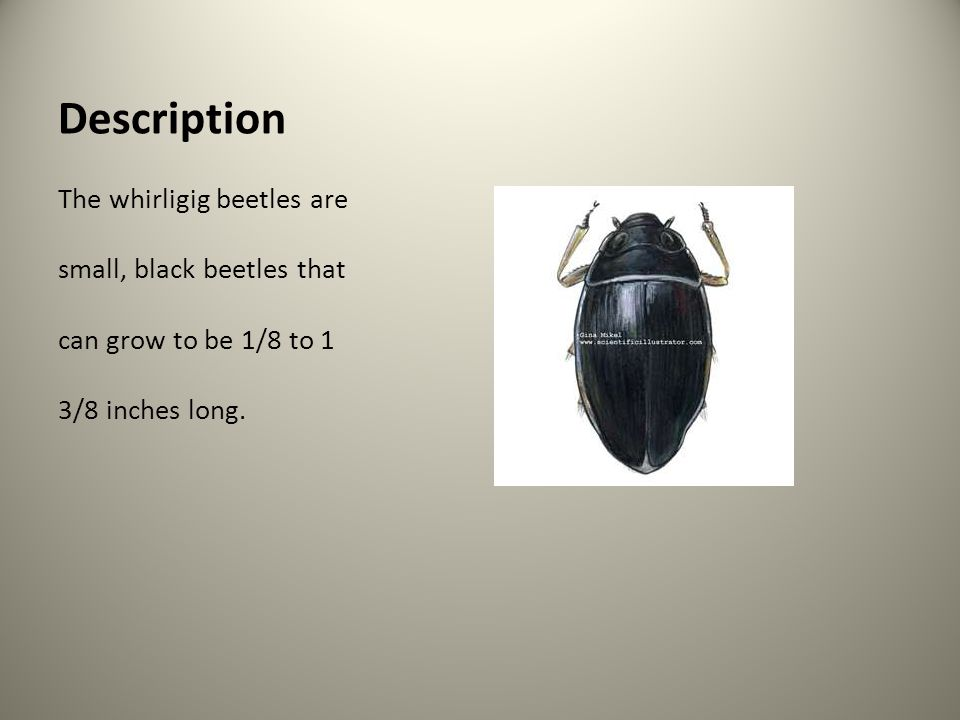 Description The whirligig beetles are small, black beetles that can grow to be 1/8 to 1 3/8 inches long.