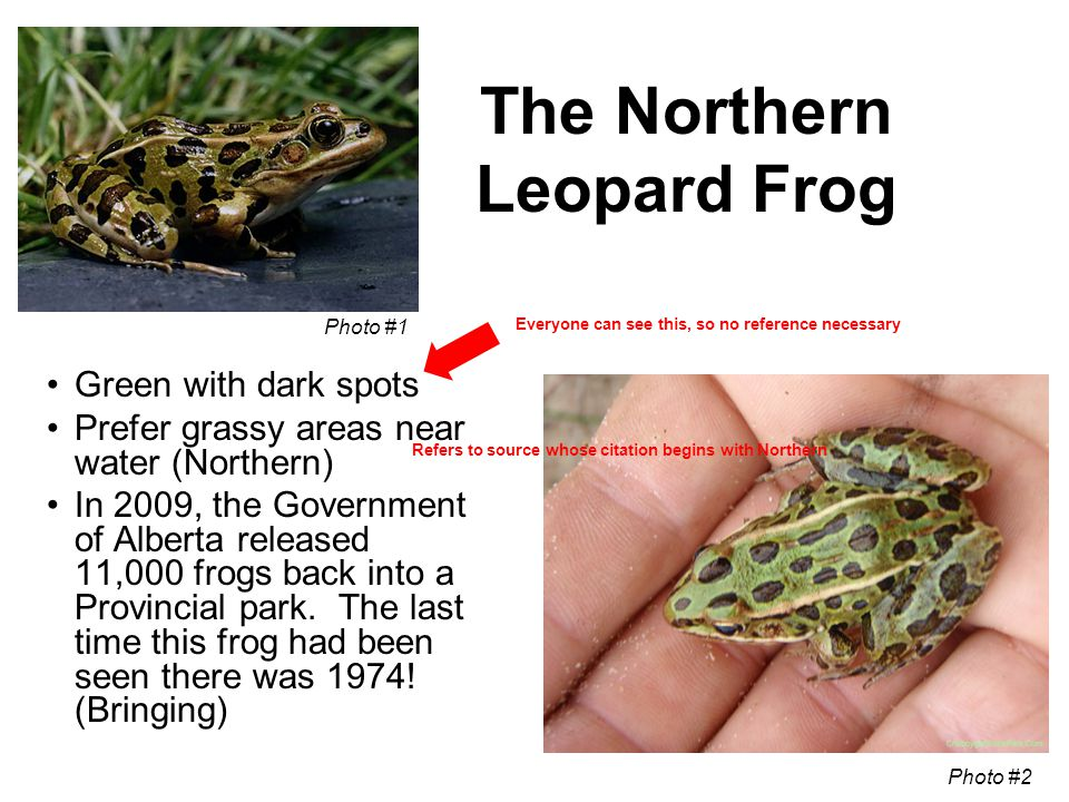 The Northern Leopard Frog Green with dark spots Prefer grassy areas near water (Northern) In 2009, the Government of Alberta released 11,000 frogs back into a Provincial park.