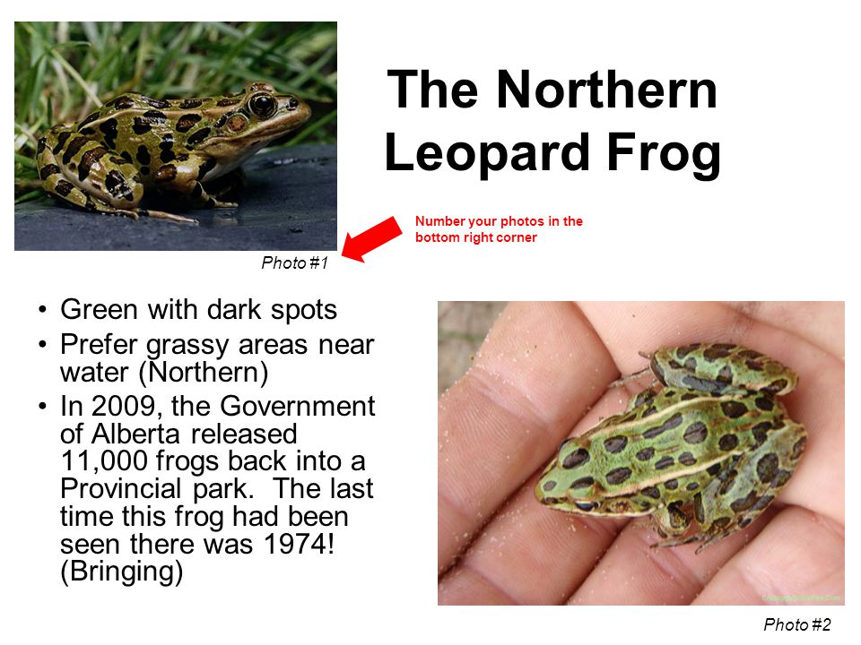 The Northern Leopard Frog Green with dark spots Prefer grassy areas near water (Northern) In 2009, the Government of Alberta released 11,000 frogs bac