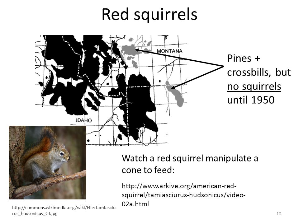 Red squirrels Pines + crossbills, but no squirrels until 1950 Watch a red squirrel manipulate a cone to feed: 10 http://www.arkive.org/american-red- squirrel/tamiasciurus-hudsonicus/video- 02a.html http://commons.wikimedia.org/wiki/File:Tamiasciu rus_hudsonicus_CT.jpg