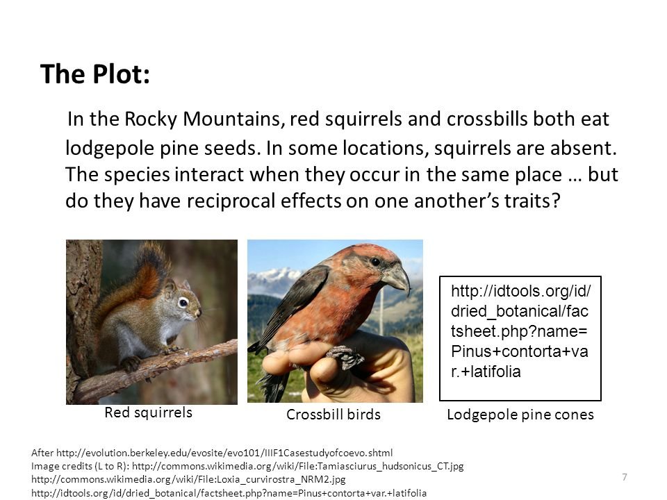 The Plot: In the Rocky Mountains, red squirrels and crossbills both eat lodgepole pine seeds.