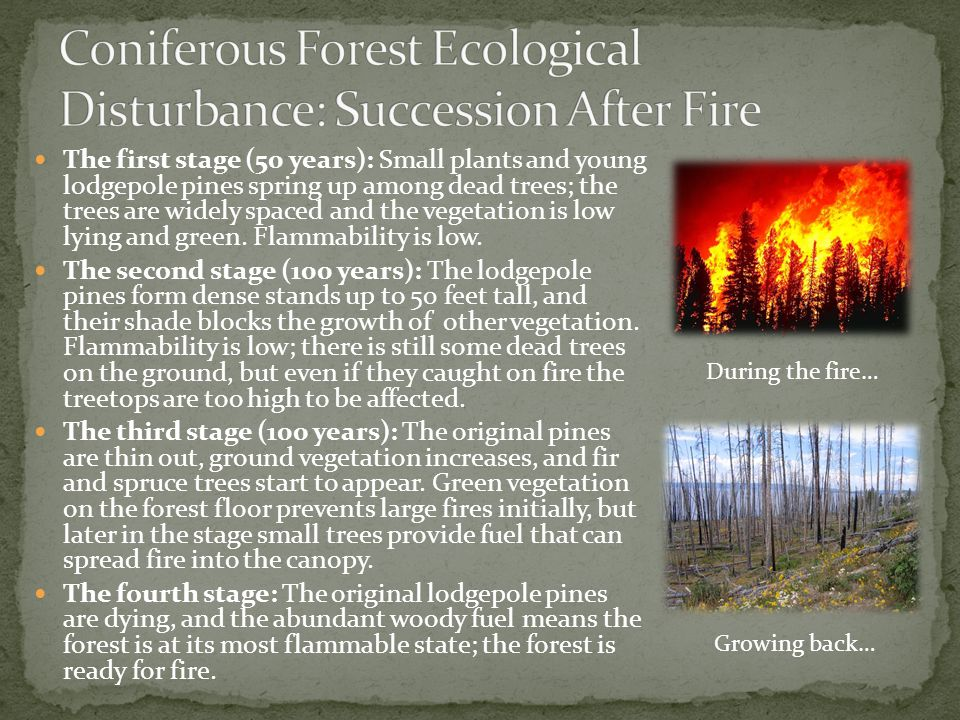The first stage (50 years): Small plants and young lodgepole pines spring up among dead trees; the trees are widely spaced and the vegetation is low l