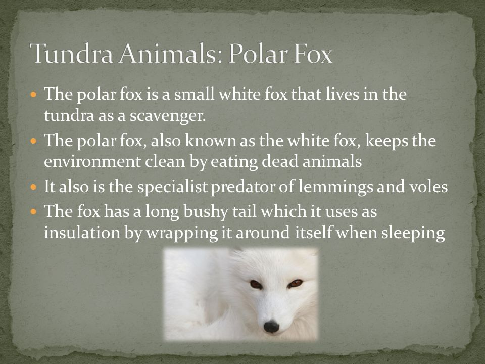 The polar fox is a small white fox that lives in the tundra as a scavenger. The polar fox, also known as the white fox, keeps the environment clean by