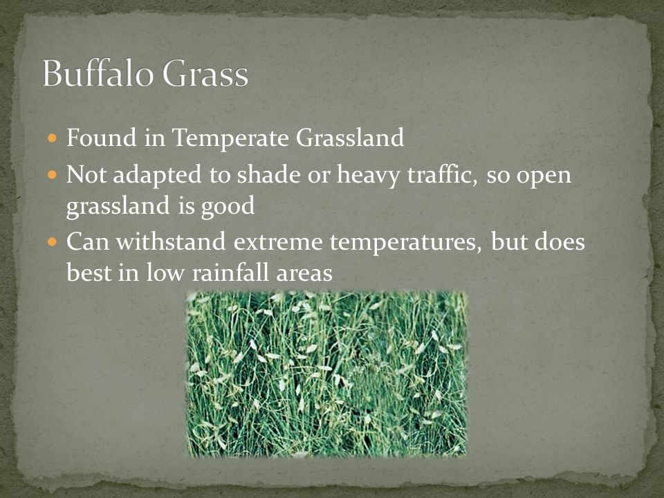 Found in Temperate Grassland Not adapted to shade or heavy traffic, so open grassland is good Can withstand extreme temperatures, but does best in low