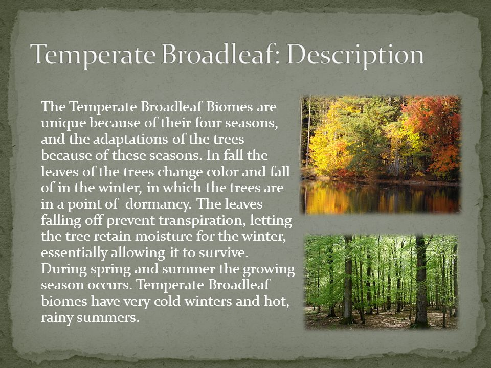 The Temperate Broadleaf Biomes are unique because of their four seasons, and the adaptations of the trees because of these seasons. In fall the leaves