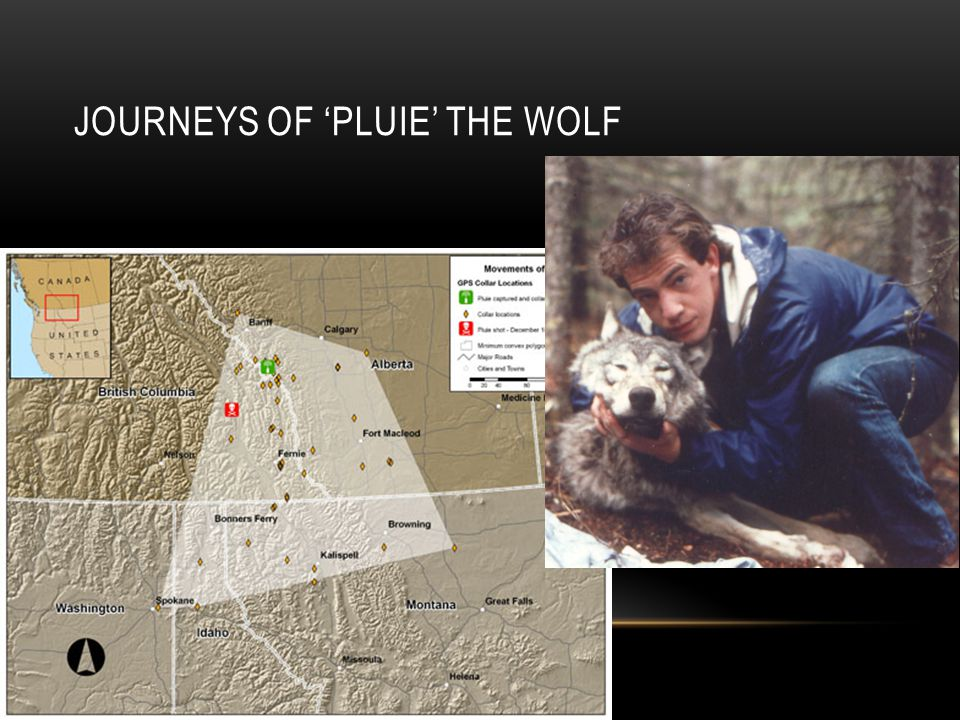 JOURNEYS OF 'PLUIE' THE WOLF