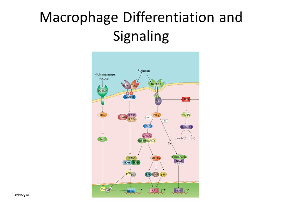 Macrophage Differentiation and Signaling Invivogen