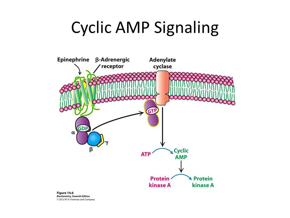 Cyclic AMP Signaling