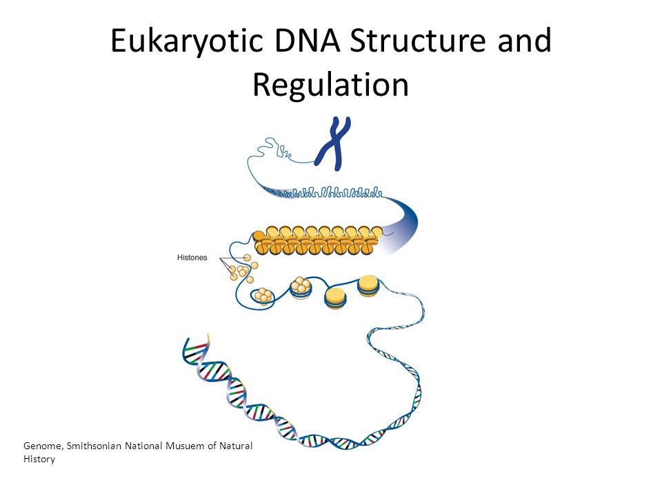 Eukaryotic DNA Structure and Regulation Genome, Smithsonian National Musuem of Natural History