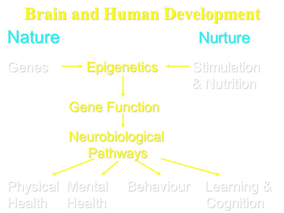 Brain and Human Development Nature Nurture Genes Epigenetics Stimulation & Nutrition & Nutrition Gene Function Gene Function Neurobiological Neurobiol