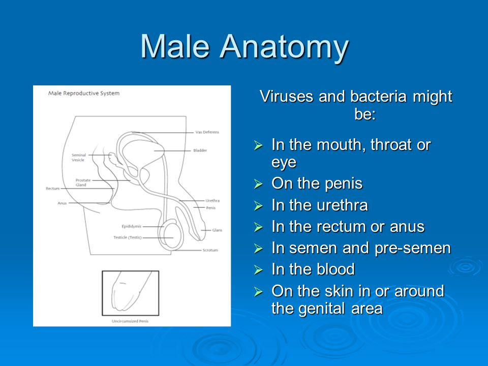 Male Anatomy Viruses and bacteria might be:  In the mouth, throat or eye  On the penis  In the urethra  In the rectum or anus  In semen and pre-semen  In the blood  On the skin in or around the genital area