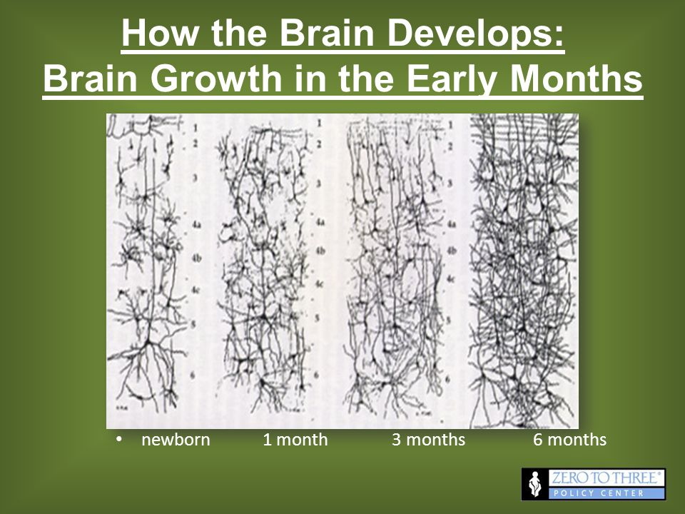 How the Brain Develops: Brain Growth in the Early Months newborn 1 month 3 months 6 months