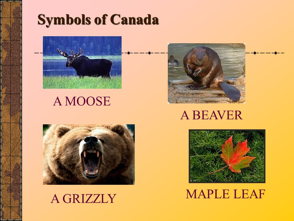 Symbols of Canada MAPLE LEAF A BEAVER A MOOSE A GRIZZLY