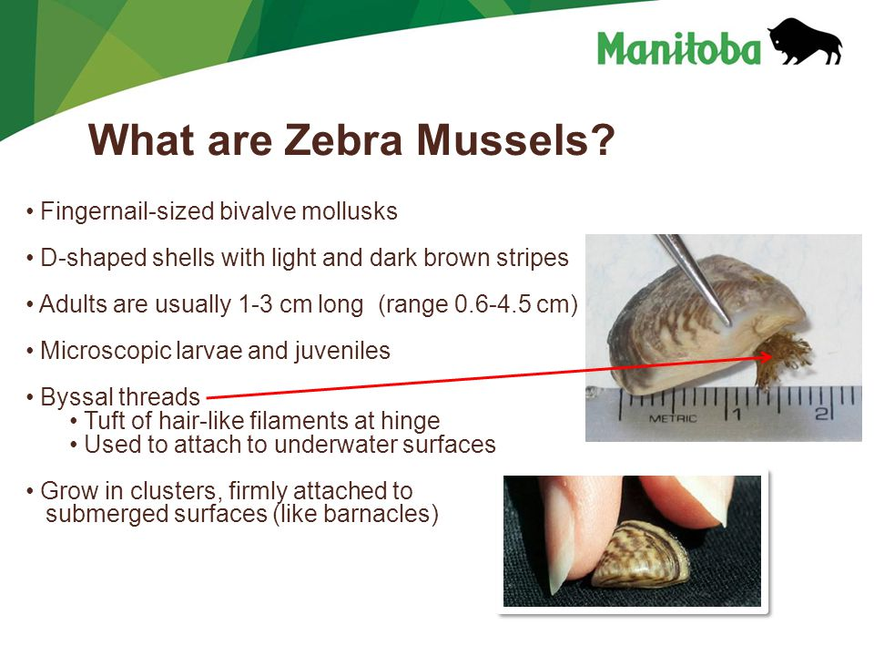 Manitoba Water Stewardship Manitoba Water Stewardship - Lake Winnipeg What are Zebra Mussels.