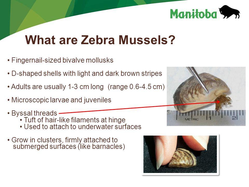 Manitoba Water Stewardship Manitoba Water Stewardship - Lake Winnipeg What are Zebra Mussels? Fingernail-sized bivalve mollusks D-shaped shells with l