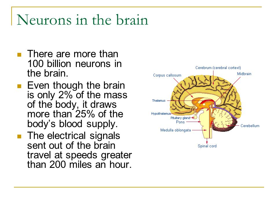 Neurons in the brain There are more than 100 billion neurons in the brain. Even though the brain is only 2% of the mass of the body, it draws more tha