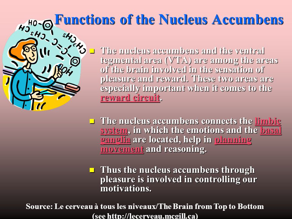 Functions of the Nucleus Accumbens The nucleus accumbens and the ventral tegmental area (VTA) are among the areas of the brain involved in the sensati