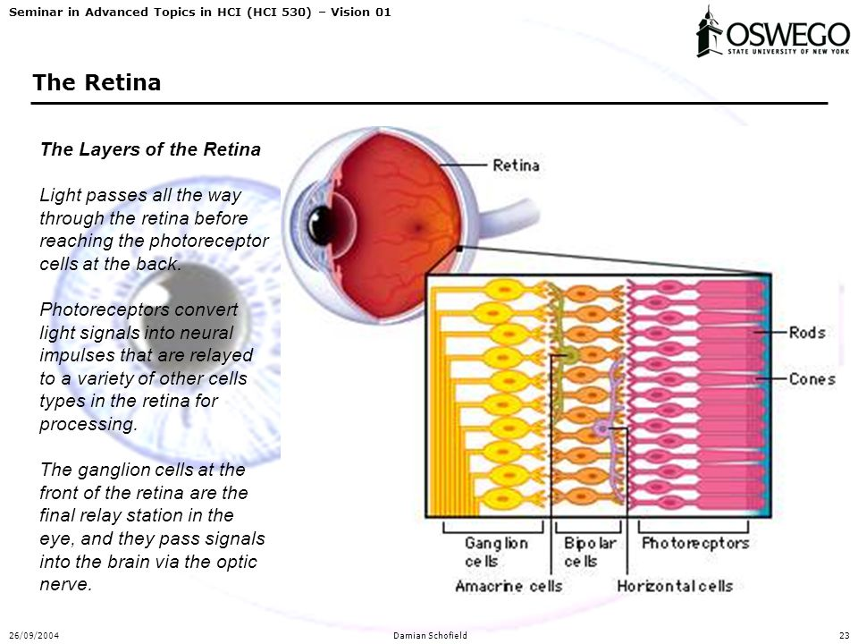 Seminar in Advanced Topics in HCI (HCI 530) – Vision 01 26/09/2004Damian Schofield23 The Retina The Layers of the Retina Light passes all the way thro